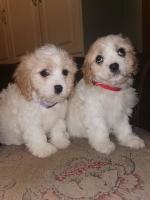 Cavachon female Puppie (1 left!!) for sale.