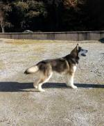 Alaskan Malamute for sale.