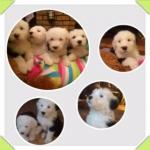 Old English Sheepdogs puppies for sale.