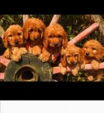 Health checked cockapoo puppies for sale.