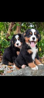 Bernese mountain dog puppies for sale.