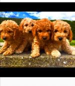 Cockapoo puppies available for sale.