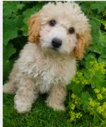 Maltipoo puppies available for sale.