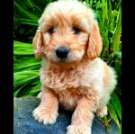 Health checked Golden doodle puppies for sale.
