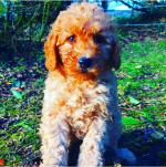 Standard poodle puppy for sale.