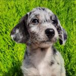 Beautiful daxipoo puppy available for sale.