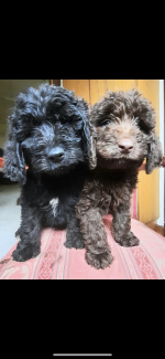 Stunning labradoodle puppies for sale.