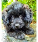 Miniature pomapoo puppies for sale.
