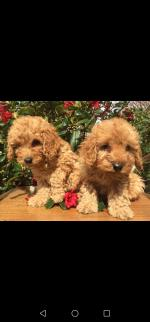 Cavapoo puppies available for sale.