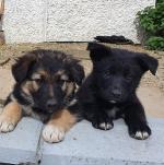 🌟SHOLLIE PUPPIES🌟 (German Shepherd x Collie) for sale.