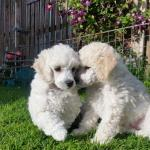 White Toy Poodle [sold].