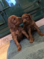 Pedigree Irish Red Setter Pups for sale.