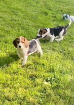 Purebred Beagle puppies for sale.
