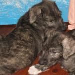 Irish Wolfhounds [sold].