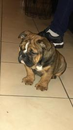 English bulldog female pup 4 months old for sale.