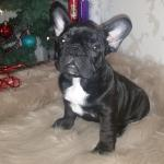 French bulldog [sold].