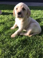 Labrador pups for sale.