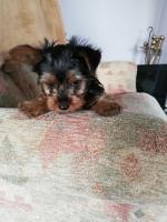 Lady lola IKC Yorkshire Terrier puppies for sale.