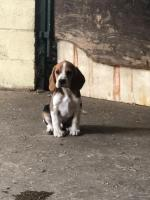 Beagle puppies in Galway for sale.