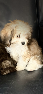 Cavachon puppies.  Brown & White male only available for sale.