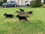 Gorgeous Pure Breed GSD Quality Puppies for sale.