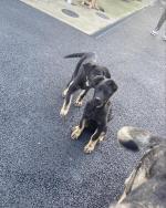 German Shepherd Full Breed Male Pups for sale.