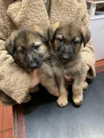 1 Female German Shepherd Pups All Males Sold [sold].