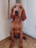 Irish setters in Limerick for sale.