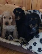 Fabulous Cocker Spaniel Pups for sale.