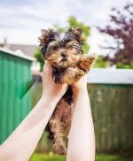 T-cup yorkshire terrier female for sale.
