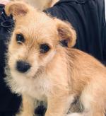 Bichon frise x terrier pups for sale.