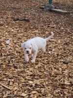 Male white Boxer puppy for sale.