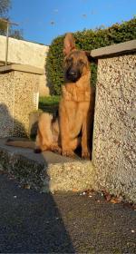 German Shepard pup in Kilkenny for sale.