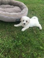 IKC Bichon Frise Puppies in Wicklow for sale.