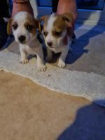 Jack russel pups for sale.