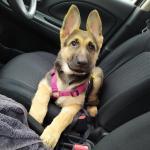 German Shepherd Puppy for sale.