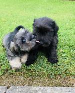Schaunzer pups for sale.