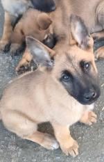 Belgian malinois in Limerick for sale.