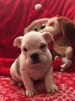 British bulldog puppies for sale.