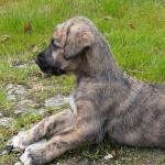 IRISH WOLFHOUND for sale.