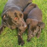 Labrador x for sale.
