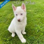 Beautiful Pomsky Puppies for sale.