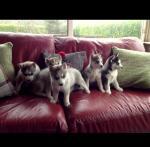 Siberian Husky [sold].
