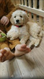 Goldendoodle for sale.
