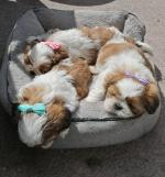 Shih Tzu Champion puppies for sale.