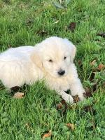 Golden Retrievers     0876538908 for sale.