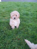 Maltese/poodle - malpoodle for sale.