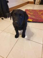 Labrador for sale.