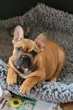 IKC French bulldog puppies for sale.