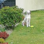 Setter pups for sale.